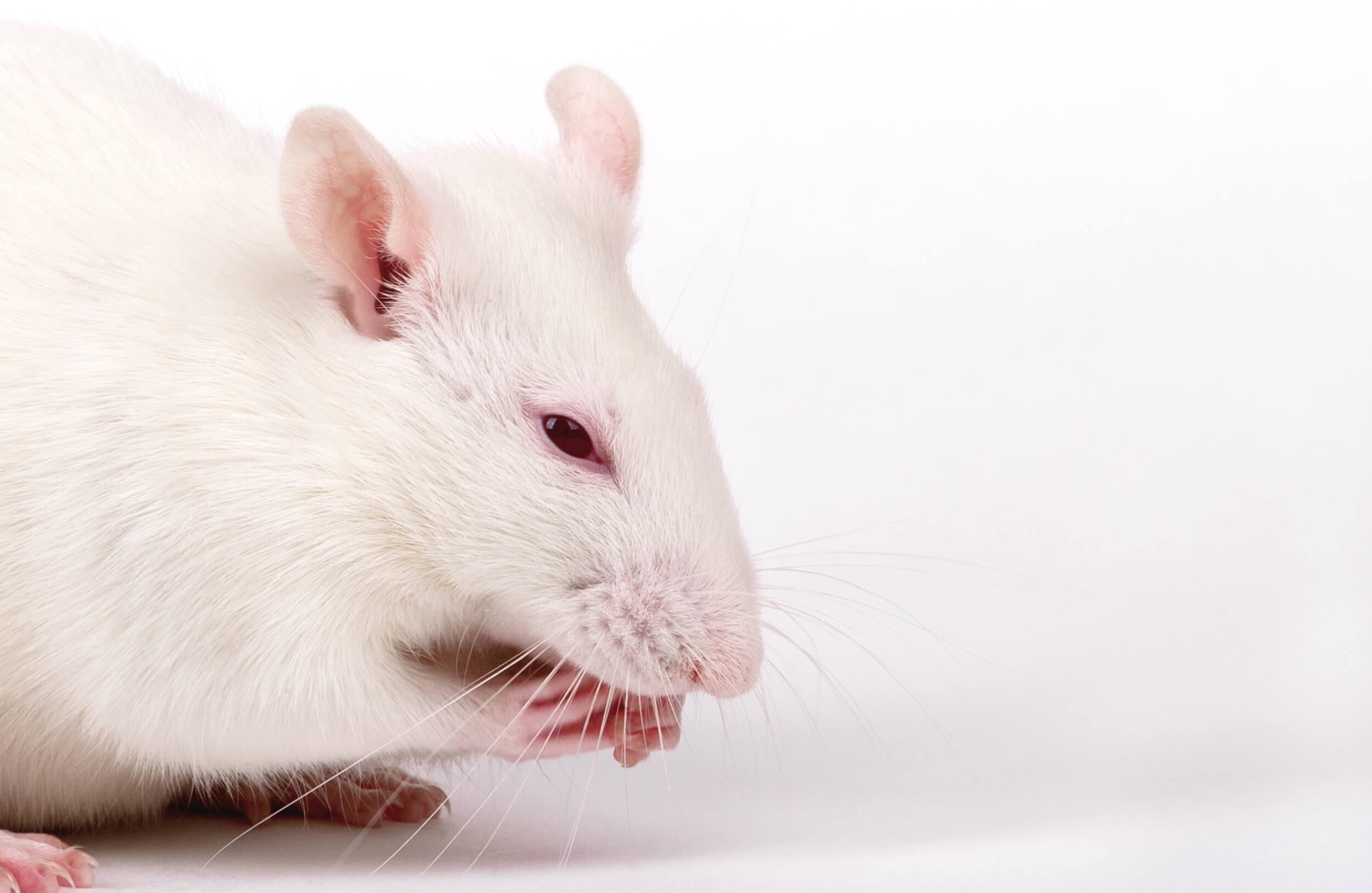 rat fuck asshole