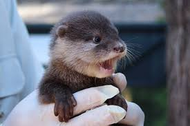 baby-otter-screaming.jpeg