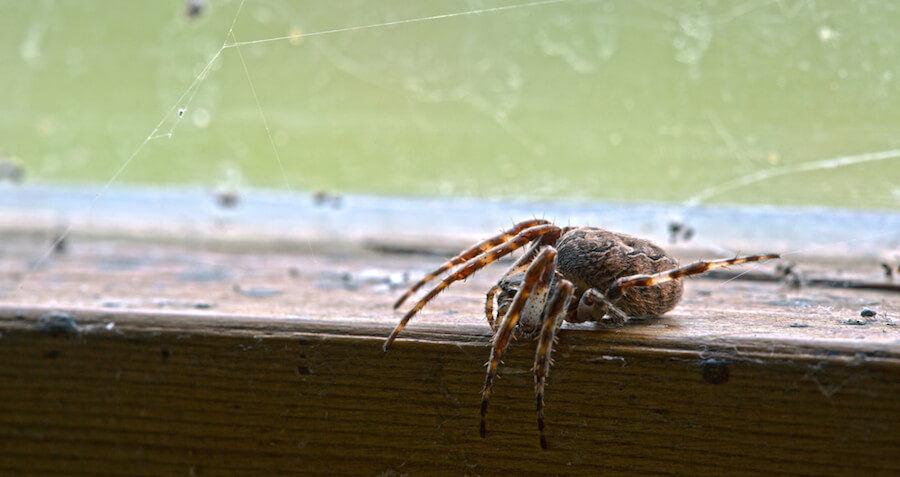 Meet the 7 Spiders You Will Swallow in Your Sleep This Year